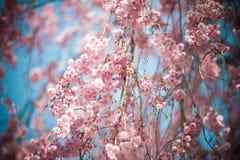 Roze sakura 03 Stock Foto