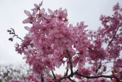 Roze sakura Royalty-vrije Stock Afbeelding