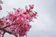 Roze sakura Royalty-vrije Stock Foto's