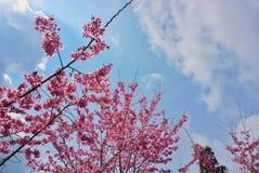 Roze sakura Stock Fotografie