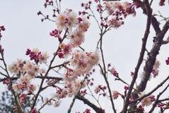 Roze sakura Stock Afbeeldingen