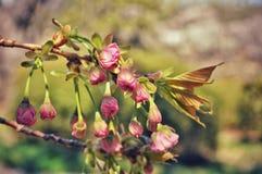 Roze sakura alvorens te bloeien royalty-vrije stock foto's