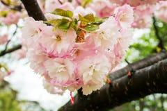 Roze sakura breekbare bloeiwijze met regendalingen op een regenachtige de lentedag Kersentak met bloemen en kleine bladeren aard  stock fotografie