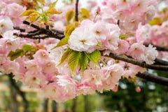 Roze sakura breekbare bloeiwijze op een regenachtige de lentedag Kersentak met bloemen en kleine bladeren met regendalingen aard  royalty-vrije stock foto's