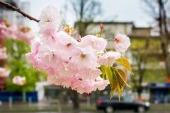 Roze sakura breekbare bloeiwijze op een stadsstraat backgroung Kersentak met bloemen en kleine bladeren met regendalingen nave royalty-vrije stock foto