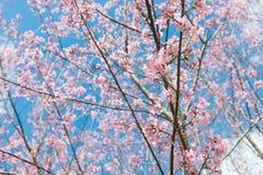 Roze sakura in Thailand Royalty-vrije Stock Foto