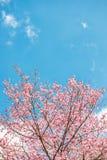 Roze sakura in Thailand Stock Foto's