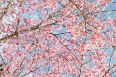 Roze sakura in Thailand Royalty-vrije Stock Fotografie