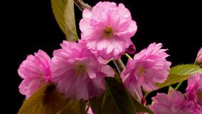Roze Sakura Tree Flowers stock video