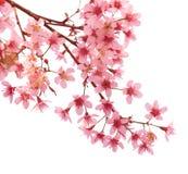 Roze sakura van de kersenbloesem Royalty-vrije Stock Foto