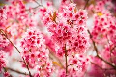 Roze sakurabloemen die van Thailand in de winter met sele bloeien royalty-vrije stock afbeeldingen
