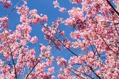 Roze sakurabloesems in Thailand Royalty-vrije Stock Afbeeldingen