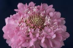 Roze Scabioza-bloemmacro op zwarte achtergrond Royalty-vrije Stock Foto