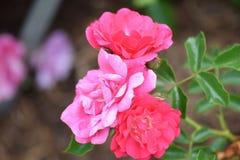 Roze Schalen royalty-vrije stock afbeelding