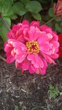 Roze Schoonheidsdaling Mum Royalty-vrije Stock Foto's