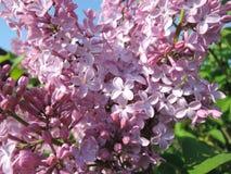 Roze sering in de zonneschijn stock afbeeldingen