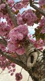 Roze sierkersenbloesem Stock Afbeelding