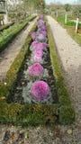 Roze Sierkool royalty-vrije stock fotografie