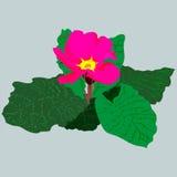 Roze sleutelbloem met groene bladeren Royalty-vrije Stock Foto
