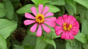 Roze smal blad Zinnia in de tuin stock footage