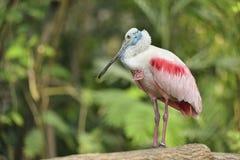 Roze Spoonbill Stock Afbeelding