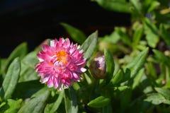 roze Strawflower stock afbeeldingen
