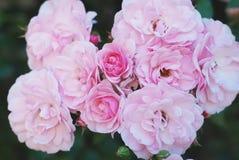 Roze struik rosses in Bloei in Tuin Semidouble bloemen in grote bossen worden gehouden die Boom op gebied royalty-vrije stock fotografie