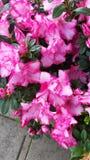 Roze struiken in Illinois royalty-vrije stock foto's