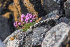 Roze suecica van Silene van de Bloemen Alpiene silene stock foto's