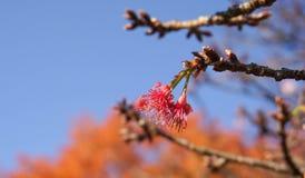 Roze sukurabloemen van de kersenbloesem Royalty-vrije Stock Fotografie