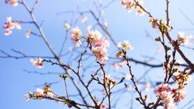 Roze sukurabloemen van de kersenbloesem Stock Fotografie
