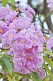 Roze tabebuiarosea royalty-vrije stock afbeelding