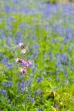 Roze tegen Blauw: Bloemen Stock Afbeelding