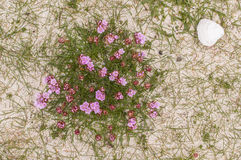Roze thrfts die (Armeria Maritima) op zandduinen groeien in Schotland royalty-vrije stock foto's