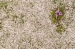 Roze thrfts die (Armeria Maritima) op zandduinen groeien in Schotland stock foto's