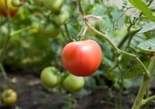 Roze tomaat Royalty-vrije Stock Foto's