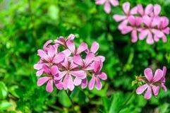 Roze tot bloei komende klimop-blad geranium van het sluiten Stock Foto