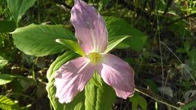 Roze Trillium Royalty-vrije Stock Afbeeldingen
