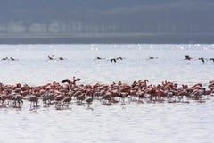 Roze troep in Nakuru-meer kenia stock afbeelding