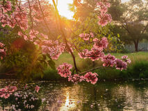 Roze Trompet Stock Afbeeldingen