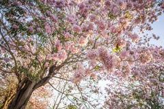Roze trompetboom Stock Afbeelding