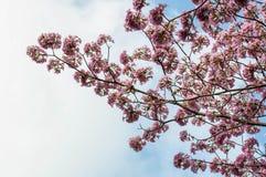 Roze trompetboom Royalty-vrije Stock Fotografie