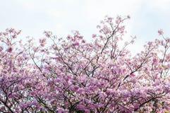Roze trompetboom Royalty-vrije Stock Foto