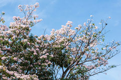 Roze trompetboom Stock Foto