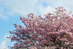 Roze trompetboom Royalty-vrije Stock Foto's