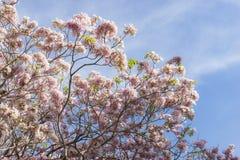 Roze trompetboom Royalty-vrije Stock Afbeeldingen