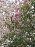 Roze trompetboom stock afbeeldingen
