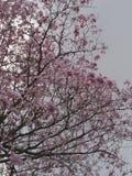 Roze trompetboom royalty-vrije stock afbeelding