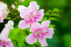 Roze Trompetwijnstok, Podranea-ricasoliana, bloem Stock Fotografie