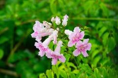 Roze Trompetwijnstok, Podranea-ricasoliana, bloem Royalty-vrije Stock Fotografie